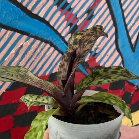 Photo of the plant species Pahiopedilum Hilo by Roma named Emu on Greg, the plant care app
