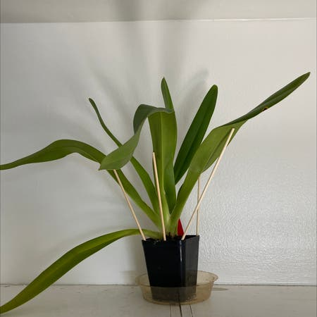 Photo of the plant species Pahiopedilum Iowii by Roma named Iowii on Greg, the plant care app