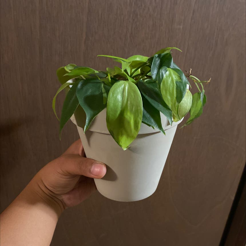 Philodendron 'Brasil' plant in Somewhere on Earth