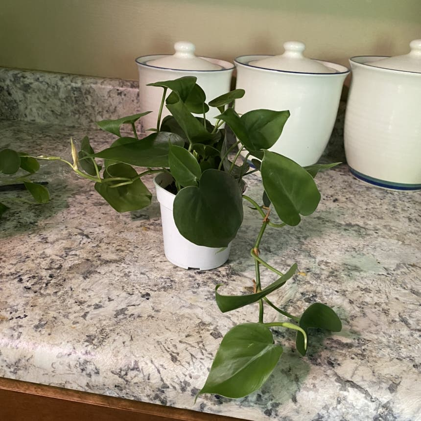 Philodendron cordatum plant in Somewhere on Earth