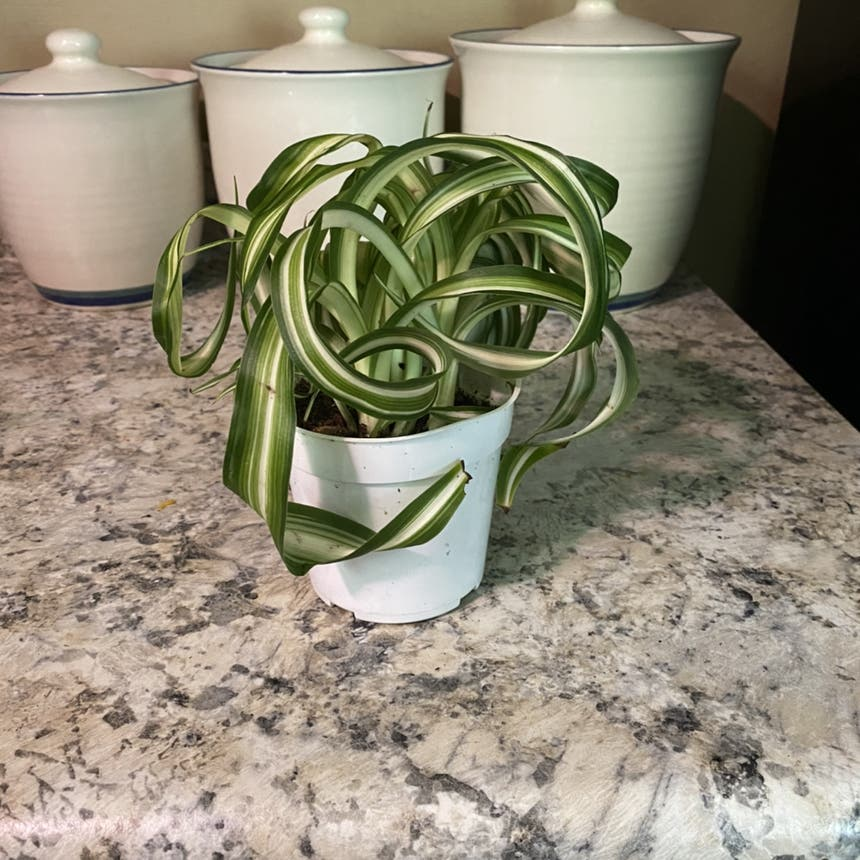 Curly Spider Plant plant in Somewhere on Earth
