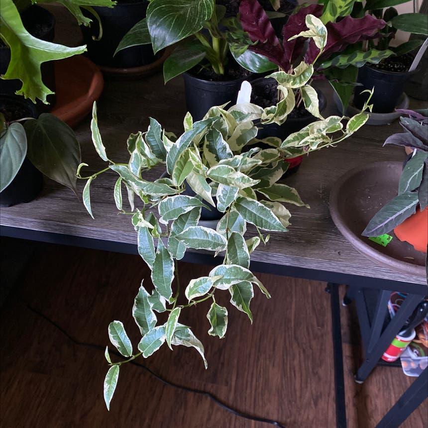 Variegated Ficus sagittata plant in Somewhere on Earth