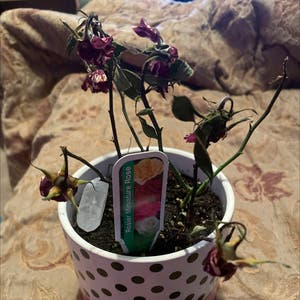 Miniature Rose plant photo by Linzsmith_ named Bella on Greg, the plant care app.