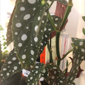 Rating of the plant Polka Dot Begonia named Hübsch aber sehr empfindlich by Londondaniel on Greg, the plant care app