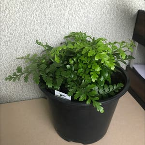 Parsley fern plant photo by Haveafrighten named Ferngully on Greg, the plant care app.