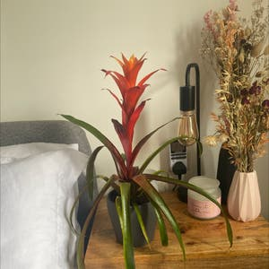 Droophead Tufted Airplant plant photo by Lauren5118 named Star on Greg, the plant care app.