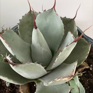 Parry's Agave plant photo by Lilyyandow named Tolkien on Greg, the plant care app.