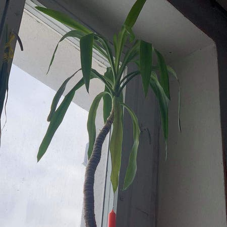 Photo of the plant species Spineless Yucca by Mildainis named Nick Fury on Greg, the plant care app