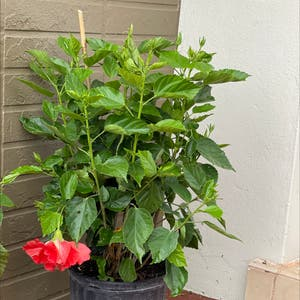 Chinese Hibiscus plant photo by Onewithnature named Pepita on Greg, the plant care app.