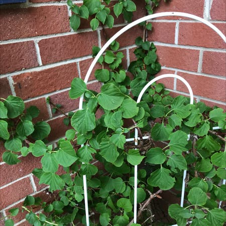 Photo of the plant species climbing hydrangea by Annette named Your plant on Greg, the plant care app