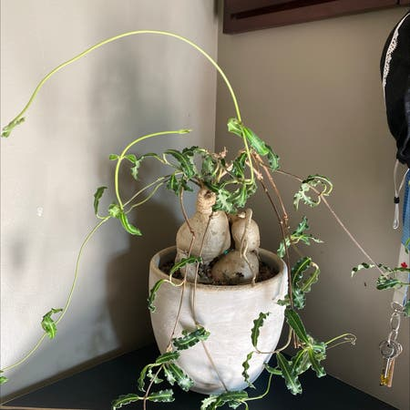 Photo of the plant species Raphionacme flanaganii by Sarah named Your plant on Greg, the plant care app