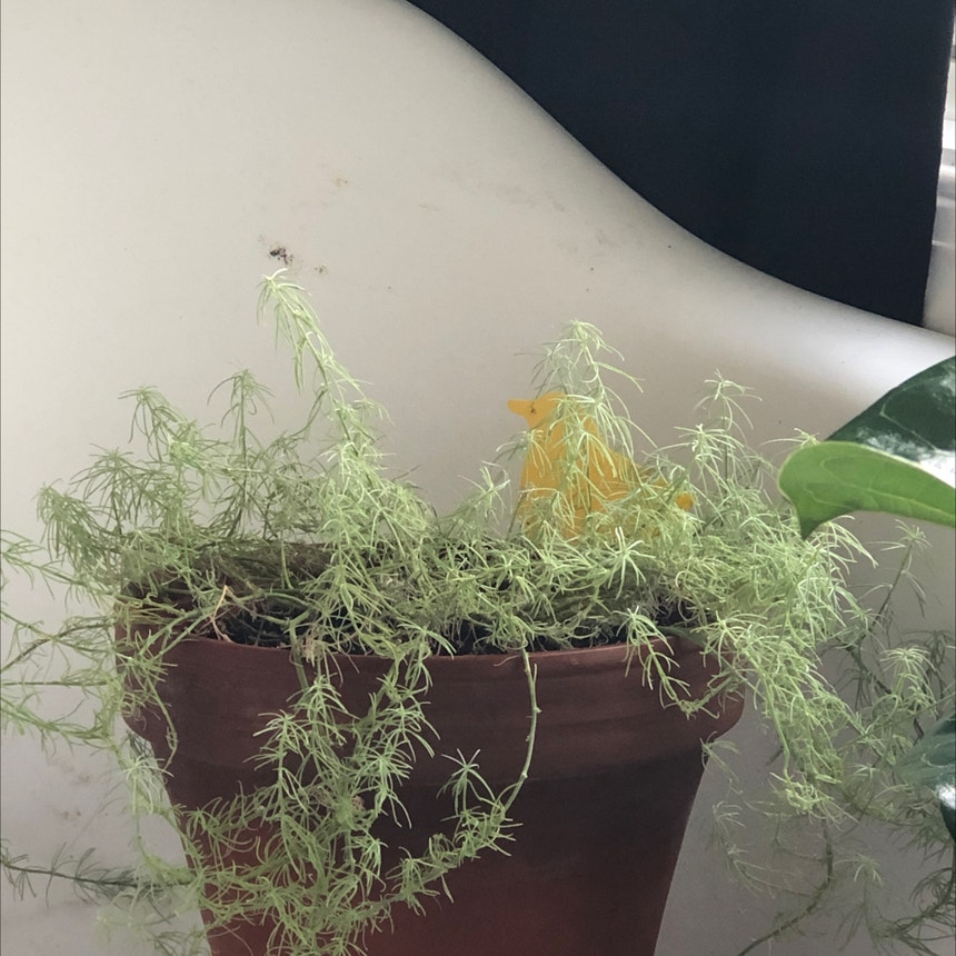 Asparagus Fern plant in Eau Claire, Wisconsin