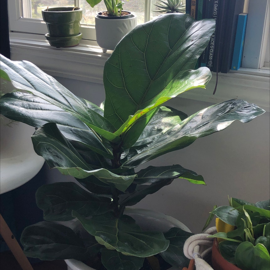 Fiddle Leaf Fig plant in Eau Claire, Wisconsin
