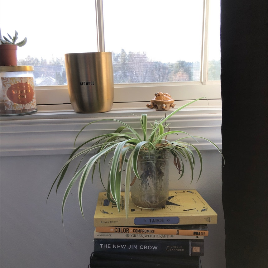 Variegated Spider Plant plant in Eau Claire, Wisconsin