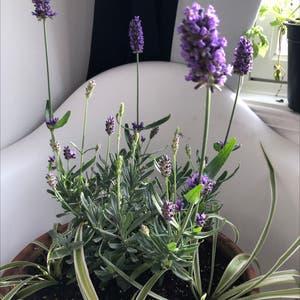 English Lavender plant photo by Maddiemledford named Alexandria ocasio cortez on Greg, the plant care app.