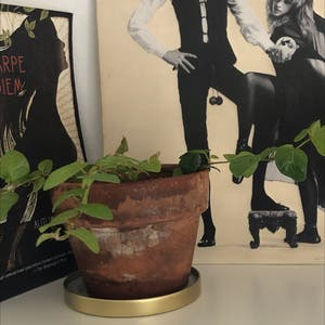 Variegated Creeping Fig plant photo by Maddiemledford named Tito on Greg, the plant care app.