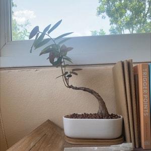 Phyllanthus mirabilis plant photo by Kanke named Katla on Greg, the plant care app.