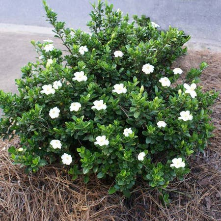 Photo of the plant species Cape Jasmine by Im_crisp named James Gardenia on Greg, the plant care app