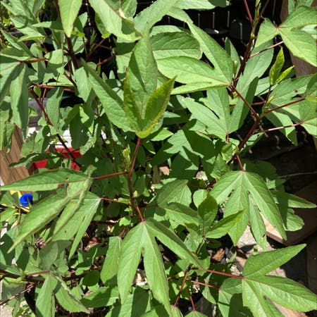 Photo of the plant species Roselle by Cecilia named Your plant on Greg, the plant care app