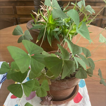 Photo of the plant species Shamrock by Plantladycierra named Hera on Greg, the plant care app
