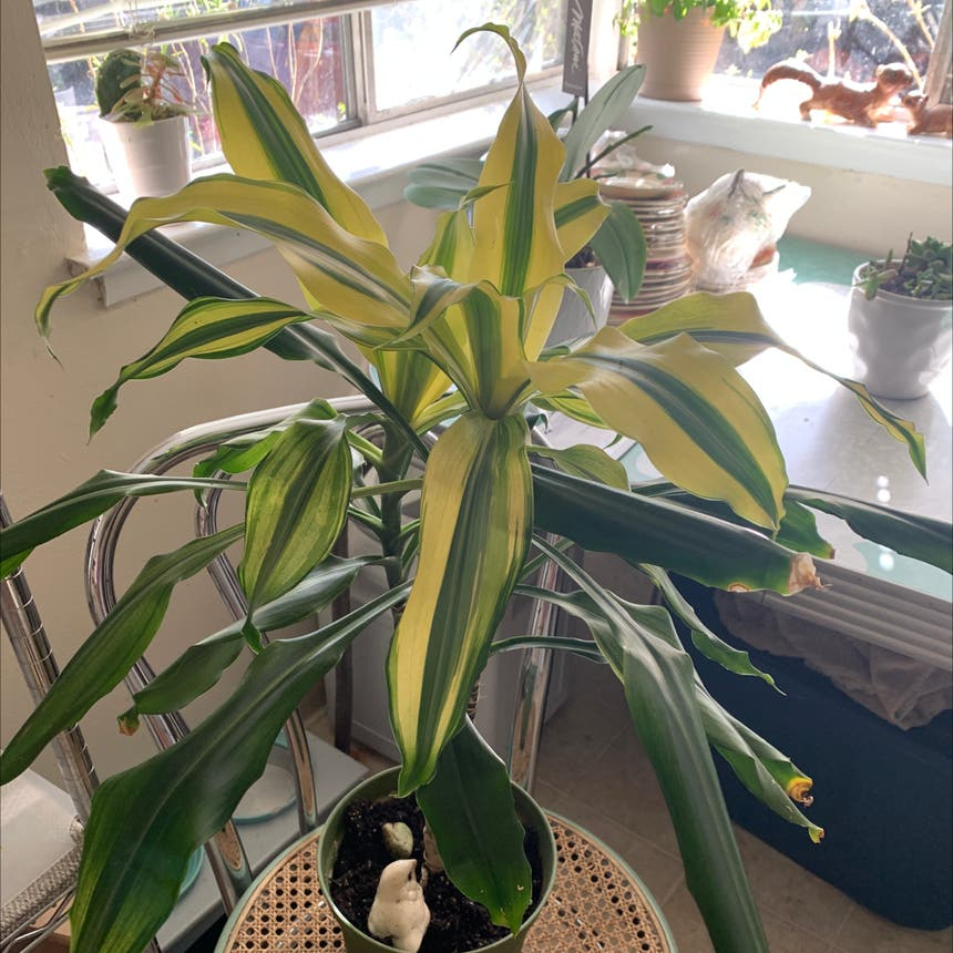 Cornstalk Dracaena plant