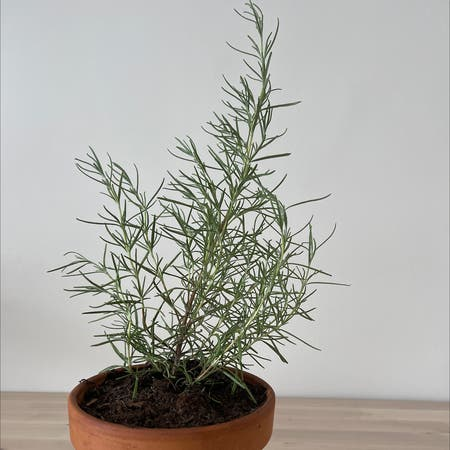 Photo of the plant species Salvia rosmarinus by Judeepi named Rosemary on Greg, the plant care app
