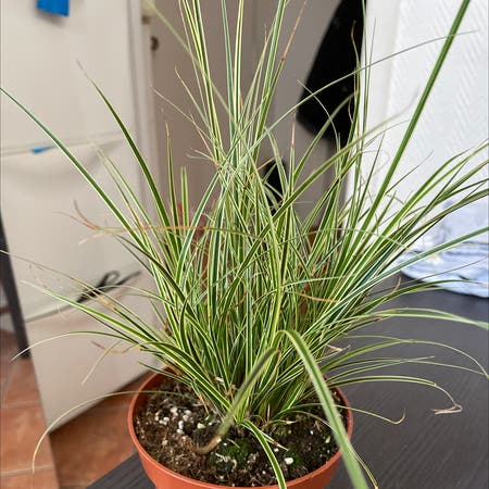 Photo of the plant species Japenese Sedge by Palak named Simon De Beauvoir on Greg, the plant care app
