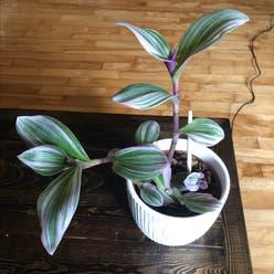 Small-Leaf Spiderwort plant