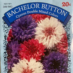 Bachelor's buttons plant