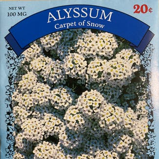 Sweet Alyssum plant in Somewhere on Earth