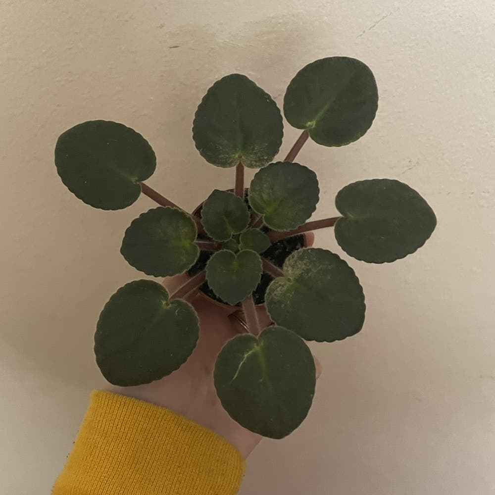 Photo of the plant species African Violet by Bbplantmom named andy on Greg, the plant care app