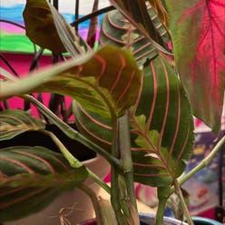 Red Prayer Plant plant