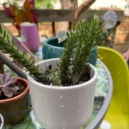 Photo of the plant species Old Man Opuntia by Jessica named Delilah on Greg, the plant care app