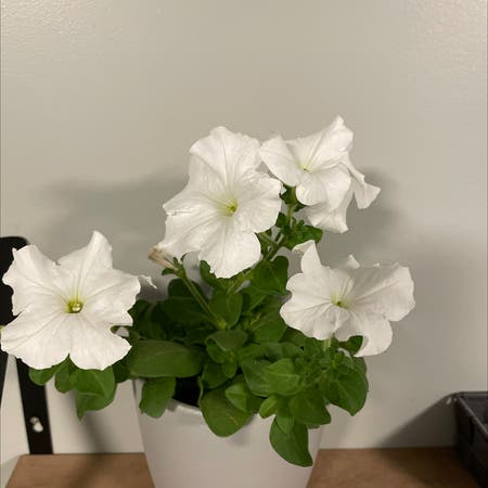 Photo of the plant species Large White Petunia by Roxannee19 named Xena on Greg, the plant care app