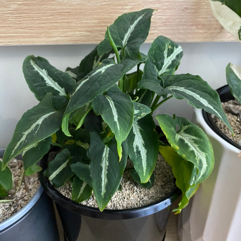 Syngonium wendlandii plant