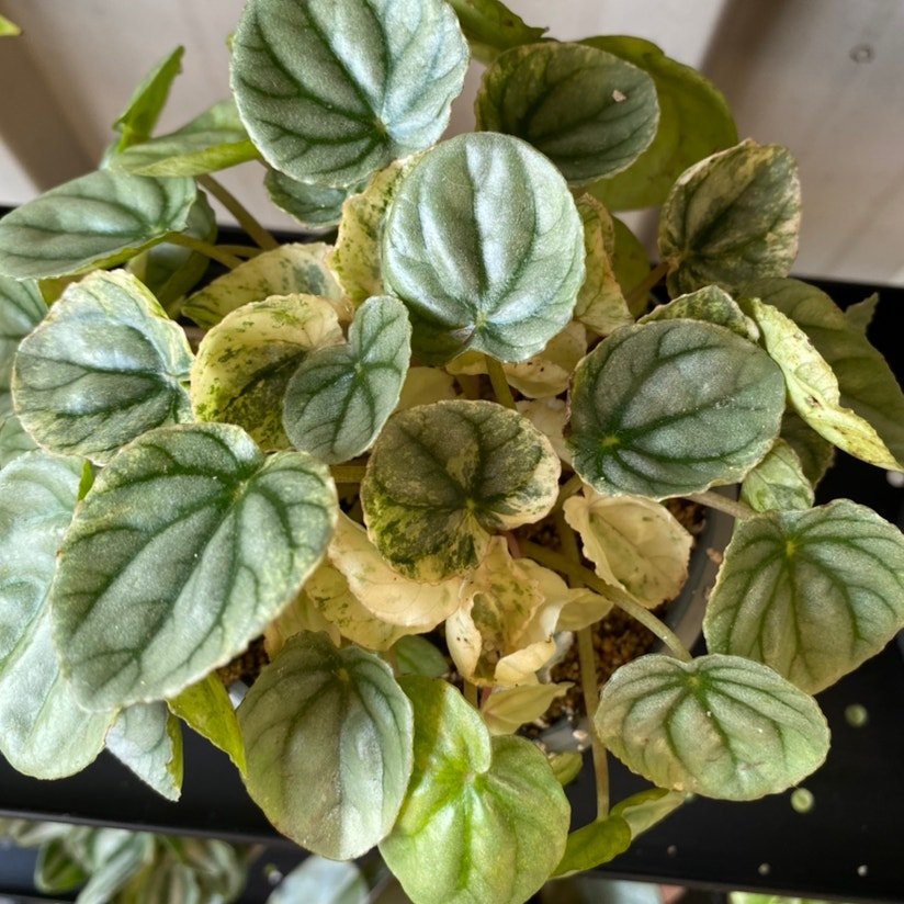Photo of the plant species Peperomia Pink Lady by Happlesful named Pink Lady on Greg, the plant care app