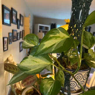 Golden Pothos plant in East Northport, New York
