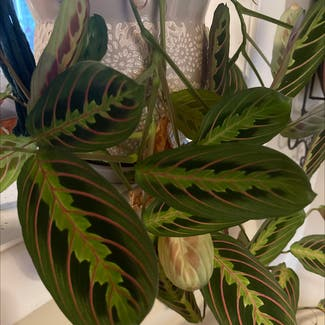 Green Prayer Plant plant in East Northport, New York