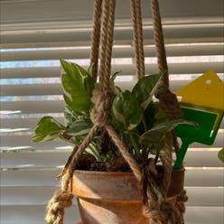 Pothos N'Joy plant