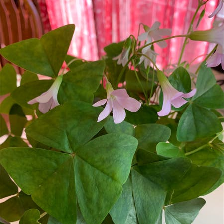 Photo of the plant species Broad-leaf wood sorrel by Beccawild named Bieber on Greg, the plant care app