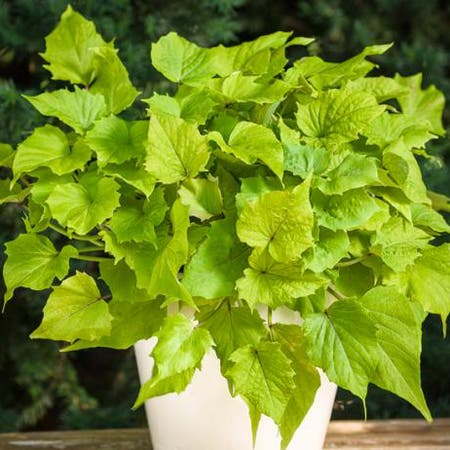 Photo of the plant species Japanese Ivy by Audrey named Flo on Greg, the plant care app