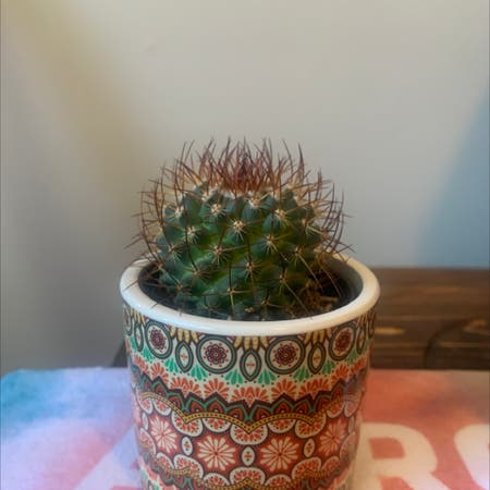 Photo of the plant species Mammillaria melanocentra by Travis named Howell on Greg, the plant care app