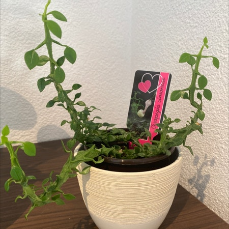 Photo of the plant species Ceropegia simoneae by Victoria named Demi on Greg, the plant care app