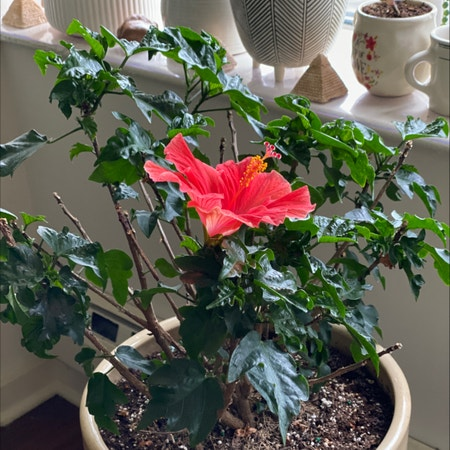 Photo of the plant species Rose Mallow by Dipaan named Hibiscus on Greg, the plant care app