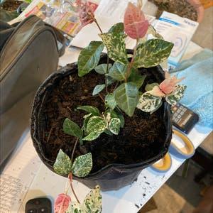 Asian jasmine plant photo by Cheryl named Jasmine Snow N Summer on Greg, the plant care app.