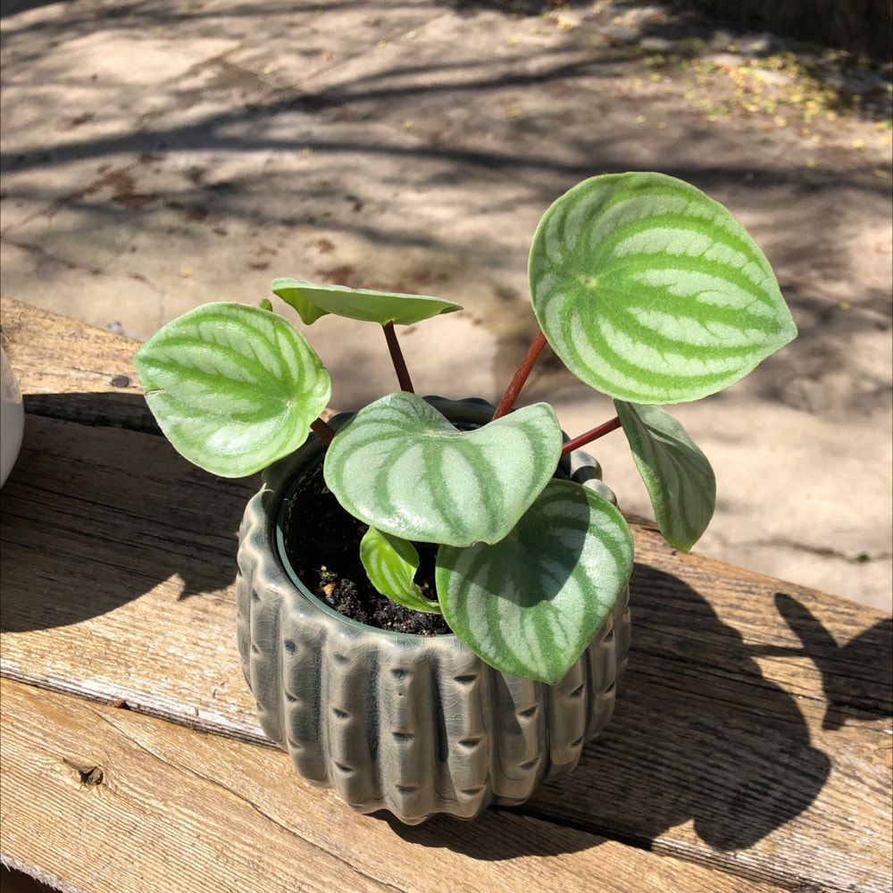 Photo of the plant species Emerald Ripple Peperomia by Acasap named Ruby on Greg, the plant care app