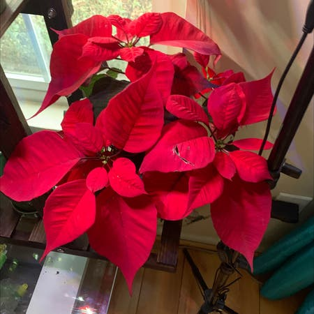 Photo of the plant species Christmas Flower by Pardis named Hedges on Greg, the plant care app