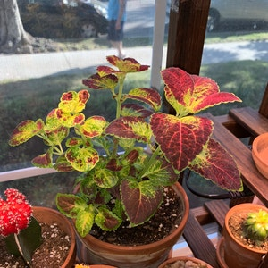 Rating of the plant Coleus named Steph by Pardis on Greg, the plant care app
