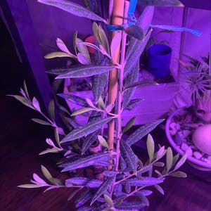 Olive Tree plant photo by Darrell named Tree Diddy on Greg, the plant care app.