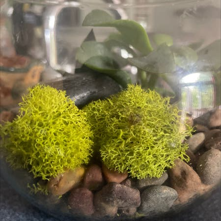 Photo of the plant species Reindeer Cup Lichen by Kim named Clifton Raymond on Greg, the plant care app